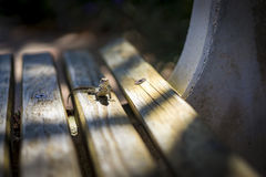 Lizard sunning itself on a wooden park bench Royalty Free Stock Images