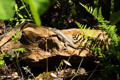Lizard Sunning On Red Rock Amid Green Plants Stock Photos