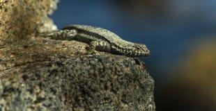 Lizard sunning on a rock Royalty Free Stock Photo
