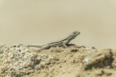 Lizard sunning on a rock Stock Images