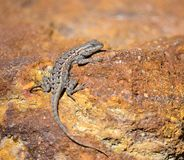 Lizard sunning on rock, Scleroporus undulatus Stock Photography