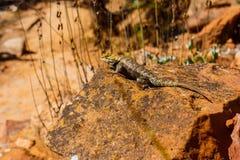 Lizard sunning on rock Stock Photography