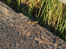 Lizard at sunset Stock Photography