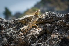 Lizard at sunspot Royalty Free Stock Photography