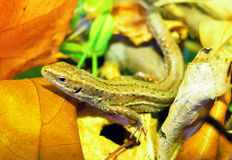 Lizard surrounded by autumn leaves. Lizard in the forest surrounded by autumn leaves stock photos