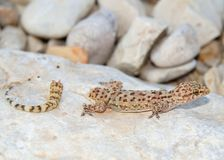 Lizard tail loss - Mediterranean Gecko Stock Image