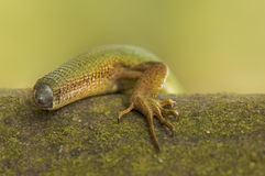 Lizard without tail Royalty Free Stock Photography