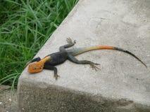 Lizard taking sun bath Stock Photo