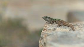 Lizard stock video