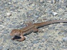 Light small Lizard, Puerto Rico Royalty Free Stock Image