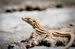 Lizard taking sun Stock Photos