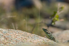 Lizard taking a sunbath Royalty Free Stock Image