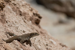 Lizard taking sunbath Royalty Free Stock Images