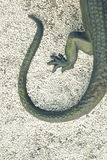 Lizard tale Royalty Free Stock Photography