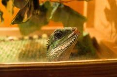 Lizard in terrarium. Green lizard at the terrarium Royalty Free Stock Photo