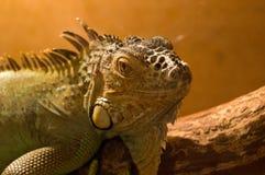 Lizard in terrarium. Green lizard at the terrarium Stock Photography