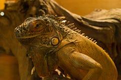 Lizard in terrarium. Green lizard at the terrarium Stock Photos