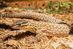 Lizard in the terrarium - leopard gecko Royalty Free Stock Photo