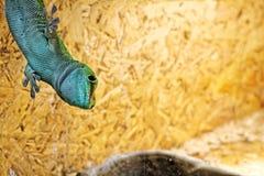 Lizard in the terrarium - Madagascar day gecko Stock Photos