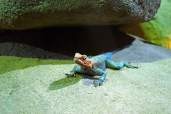 Lizard in an terrarium Royalty Free Stock Image