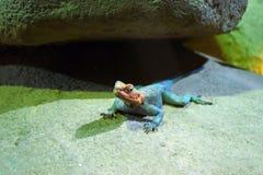 Lizard in an terrarium. Lizard on the sand under a rock in the terrarium Royalty Free Stock Image