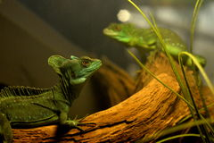 Lizard in a terrarium Stock Photography
