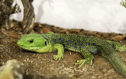 Lizard in terrarium Stock Photos