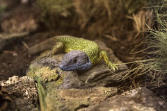 Lizard in terrarium Stock Photo