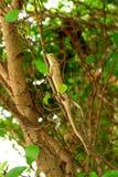 Lizard. Royalty Free Stock Image