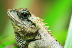 Lizard Thailand discover Stock Photos