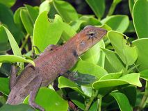 Lizard Thailand Royalty Free Stock Photography