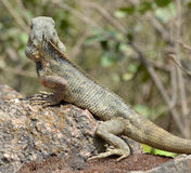 Lizard with thick scales warming up on hot rock Stock Images