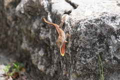 Lizard with throat expanded Royalty Free Stock Images