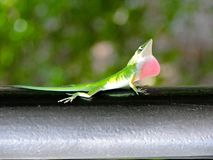 Lizard. Throat puffing territorial display stock photos