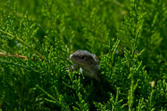 Lizard in the thuja green bush Stock Images