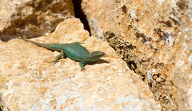 Lizard. Tipical Lizard from Formentera, Spain Royalty Free Stock Photos