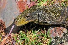 Lizard Tongue Stock Photos