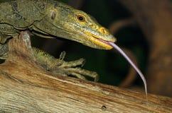 Lizard Tongue. Monitor Lizard Walking With Long Tongue Tasting Air Stock Images