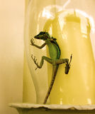 A lizard trapped in a glass candle shade Stock Photo