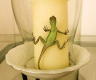 A lizard trapped in a glass candle shade Stock Images