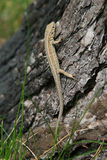 Lizard on a tree Stock Images