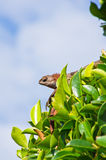 Lizard on a tree Stock Image
