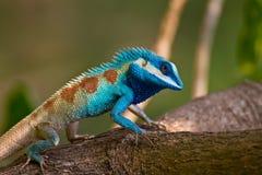 Lizard on the tree Royalty Free Stock Photo