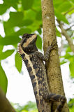Lizard on the tree. Thai Lizard Looking down from the tree Royalty Free Stock Image