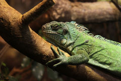 Lizard on a tree Royalty Free Stock Photography
