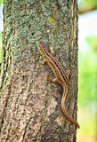 Lizard on the tree Royalty Free Stock Photography