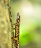 Lizard on a tree bark Stock Image