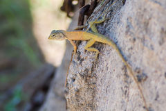 Lizard on the tree Royalty Free Stock Images
