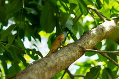 Long tailed lizard on a tree stock photography