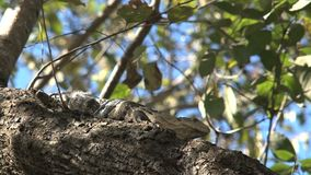 Lizard in a tree in the forest stock footage